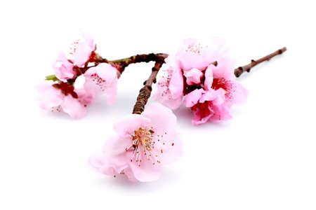 cerezos en flor: Hermosa flor rosa aislado en un fondo blanco. Foto de archivo