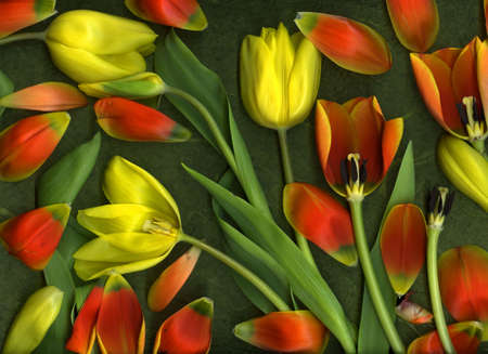 Close-up of many colorful vibrant tulips