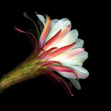 Colorful cactus flower isolated on black background