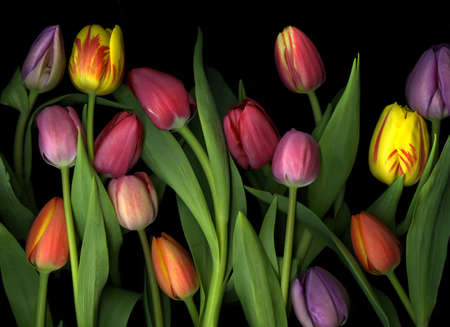 Arrangement of many colorful tulips isolated on black background