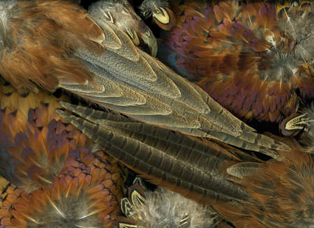 Detailed close-up view of colorful pheasant bird feathers