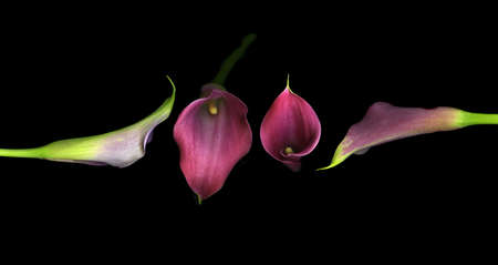 Vibrant purple calla lilies isolated on black background Stock Photo