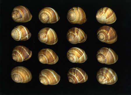 Arrangement of many fresh escargot shells isolated on black background