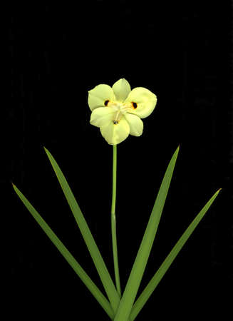 Yellow single desert lily isolated on black background Stock Photo