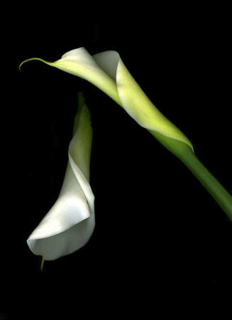 Pair of vibrant white calla lilies isolated on black background