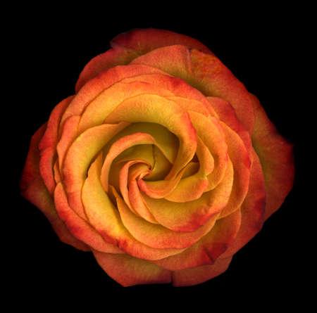 Single orange rose close-up isolated on black background