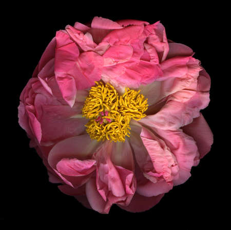 Pink peony in full bloom isolated on black background