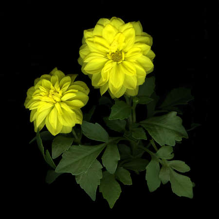 Close-up of vibrant yellow dahlia isolated on black background Stock Photo