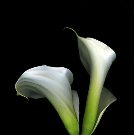 Pair of white calla lilies isolated on black background