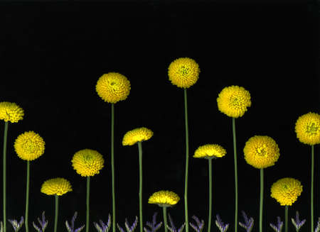 Arrangement of many yellow flower blossoms isolated on black background