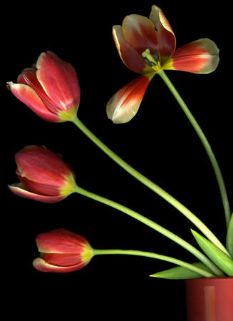 Vibrant red tulips in a flower pot isolated on black background