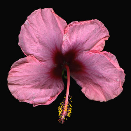 Birds eye view of pink hibiscus flower isolated on black background Stock Photo