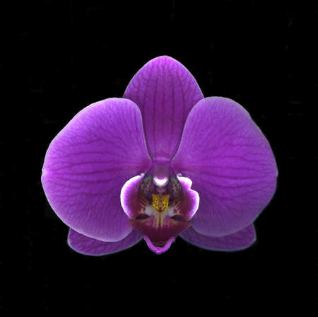 Close-up of vibrant purple orchid isolated on black background Stock Photo