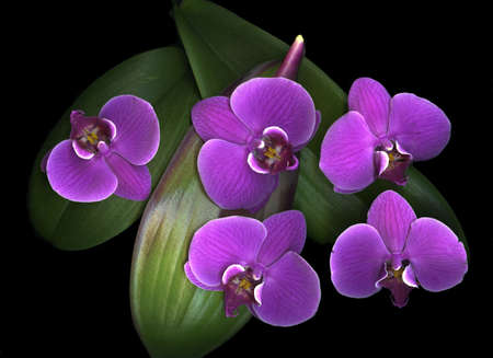 Vibrant exotic purple orchids with leaf isolated on black background