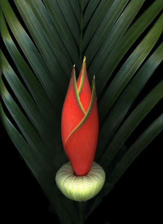 Exotic red palm flower isolated on black background