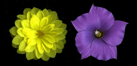 Duet of yellow dahlia and blue hibiscus flower isolated   on black background Stock Photo