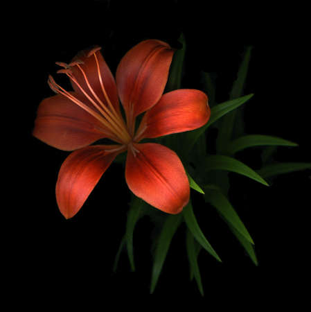 Single red day lily isolated on black background Stock Photo