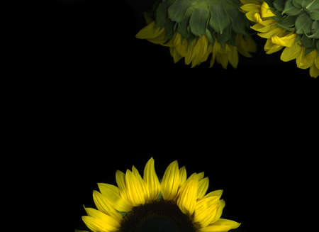 Single vibrant sunflower isolated on black background Stock Photo