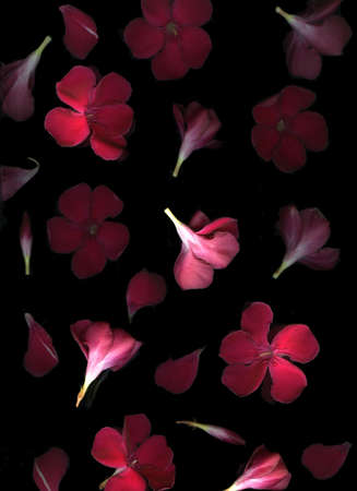 Vibrant red flower blossoms floating on black background