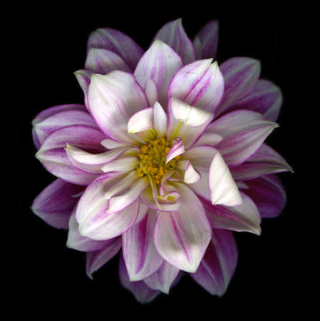 Close-up view of pink dahlia blossom isolated on black background Stock Photo