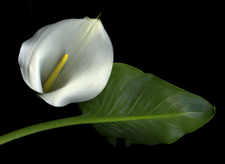 White calla lily and leaf isolated on black background Stock Photo