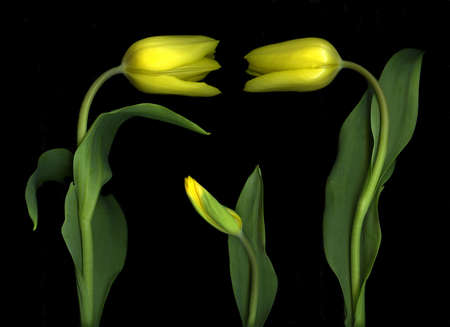 Colorful yellow tulips isolated on black background Stock Photo