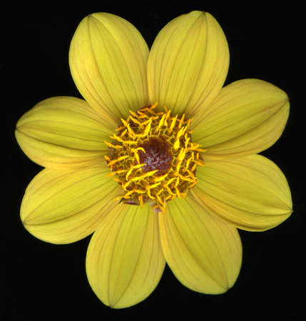 Bright yellow flower blossom isolated on black background