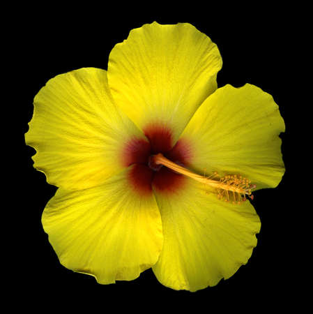 Yellow hibiscus blossom isolated on black background Stock Photo