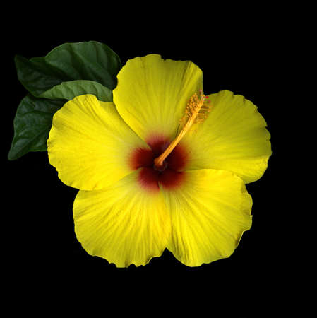 Blooming Hibiscus Stock Photo