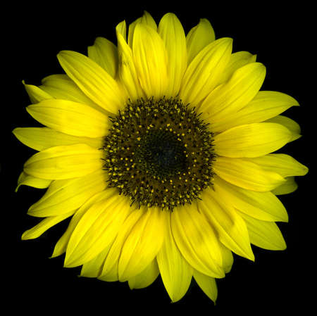Single sunflower isolated on black background Stock Photo - 5583397