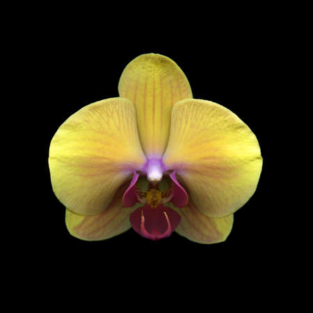 Yellow Orchid isolated on black background Stock Photo