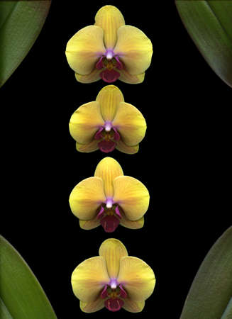 Yellow Orchids isolated on black background Stock Photo