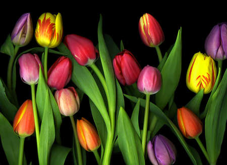 Assortment of vibrant colorful tulips isolated on black background Stock Photo