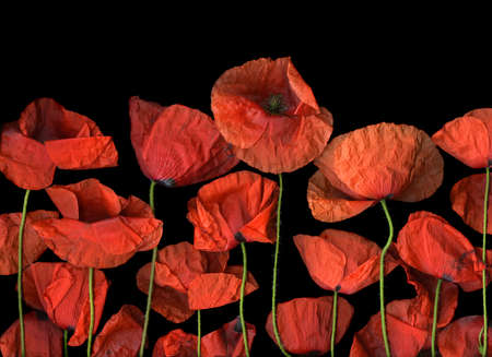 Red poppy flowers isolated on black background Stock Photo