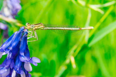 Dragonfly on a blue flower. Green background with grass in the background. Stock Photo