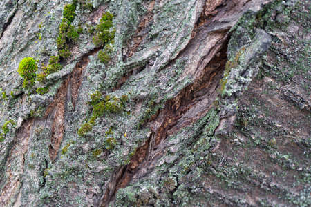 The texture of the tree bark. Trees of Central Russia.