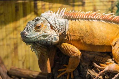 Adult iguana on wood. A large male iguana.