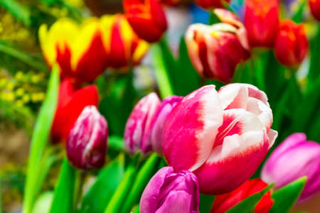 A lot of colorful tulips. Spring flower...