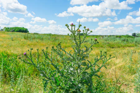 Photo of a flowering Thistle plant. The plant is used in folk medicine. Stock Photo