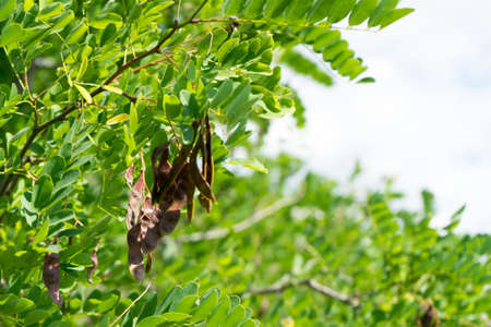 Photo acacia tree with seeds in pods.