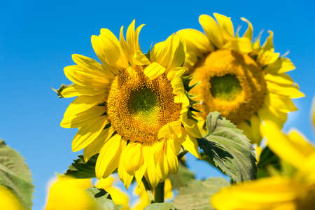 sunflower grows. the picture on the background of the sky. Stock fotó