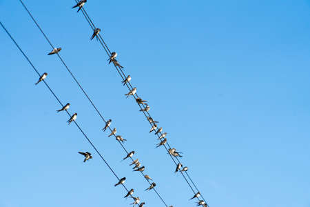A lot of birds are sitting on power wires.