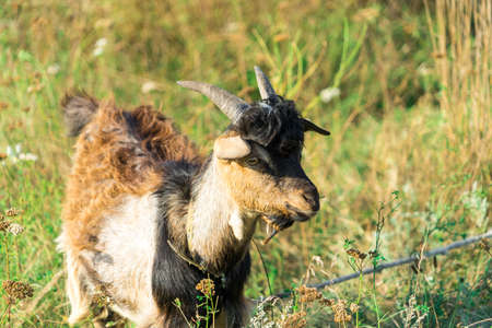 The picture of the goat. Goat grazing in the meadow.