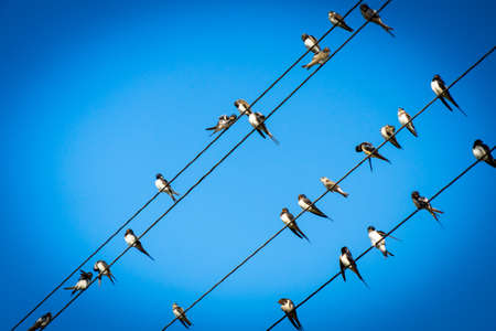 Swallows sat on electric wires. Place for your text. Swallows sat on electric wires. Place for your text. Banco de Imagens - 119883097