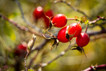 Rosehip berries on the branches. Photography in the fall. Place for your text. Rosehip berries on the branches. Photography in the fall. Place for your text. Banco de Imagens - 119882573