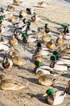 hoto wild ducks. Place for your text. hoto wild ducks. Place for your text.