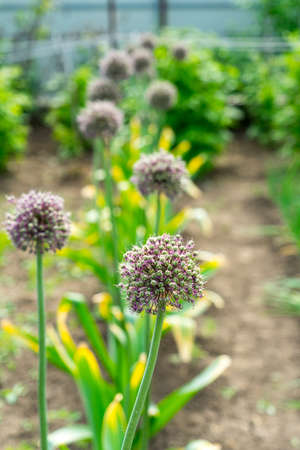Photo of flowering garlic. Garlic seeds. Garlic on the bed Banco de Imagens