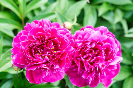 peony flowers are photographed close-up. Flowers near home. peony flowers are photographed close-up. Flowers near home.
