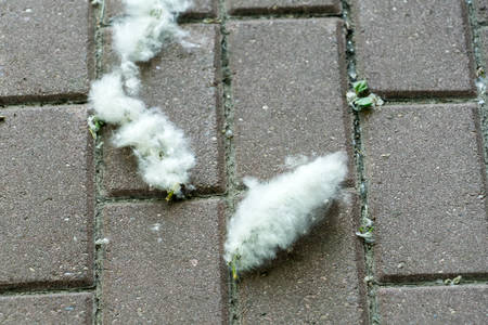 poplar fluff on the sidewalk. Close-up photo. poplar fluff on the sidewalk. Close-up photo. Banco de Imagens