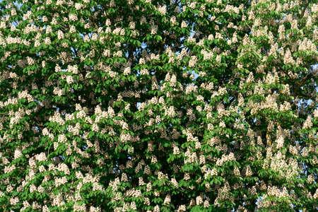 Flowering chestnut tree. Flowering chestnut against the blue sk.